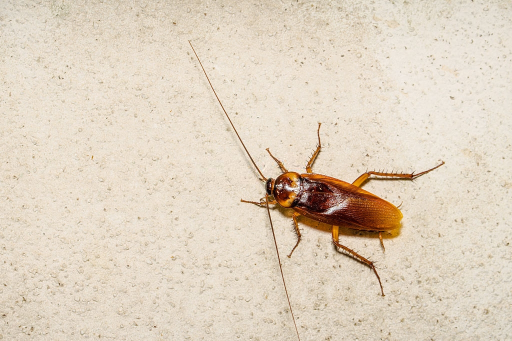 Cockroach Control, Pest Control in Coulsdon, Old Coulsdon, Chipstead, CR5. Call Now 020 8166 9746