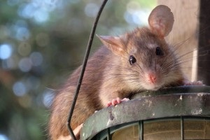 Rat Control, Pest Control in Coulsdon, Old Coulsdon, Chipstead, CR5. Call Now 020 8166 9746