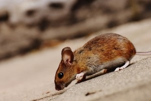 Mice Control, Pest Control in Coulsdon, Old Coulsdon, Chipstead, CR5. Call Now 020 8166 9746